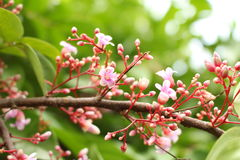 Fleur rose de caïmite Images libres de droits
