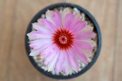 Fleur rose de cactus, Photographie stock libre de droits