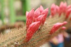 Fleur rose de cactus Image libre de droits