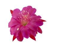 Fleur rose de cactus d'Epiphyllum Photographie stock