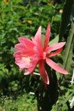 Fleur rose de cactus de phyllanthus d'Epiphyllum grande un jour ensoleillé Image libre de droits
