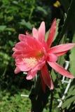 Fleur rose de cactus de phyllanthus d'Epiphyllum grande un jour ensoleillé Image stock