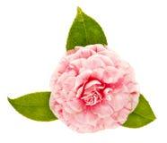 Fleur rose de camélia d'isolement sur le fond blanc photos libres de droits