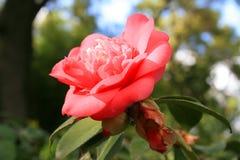 Fleur rose de Camelia photo libre de droits