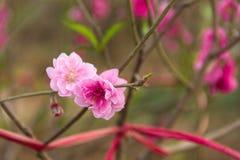 fleur rose de cerise de ressort image libre de droits