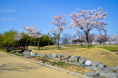 Fleur rose de cerisier et ciel bleu d'espace libre Photo libre de droits