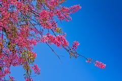 Fleur rose de Cherry Blossom avec le ciel bleu Images libres de droits