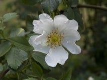 Fleur rose de chien blanc Images stock