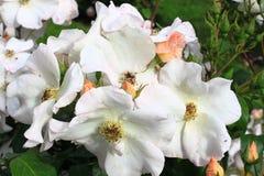 Fleur rose de chien blanc Photographie stock libre de droits