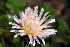 Fleur rose de chrysanthème Images stock