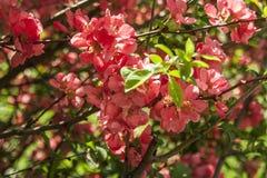 Fleur rose de coing japonais photos libres de droits