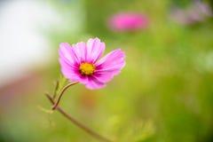 Fleur rose de cosmea photographie stock