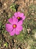 Fleur rose de cosmos Image stock