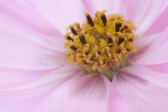 Fleur rose de cosmos Photo libre de droits