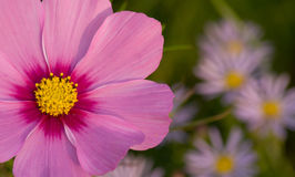 Fleur rose de cosmos Photographie stock