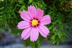 Fleur rose de cosmos Photos stock