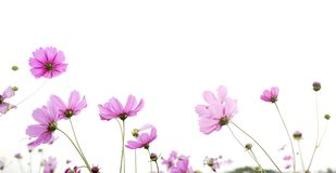 Fleur rose de cosmos d'isolement sur le fond blanc Photographie stock