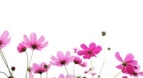 Fleur rose de cosmos d'isolement sur le fond blanc Photos libres de droits