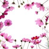 Fleur rose de cosmos dans le pré d'isolement sur le fond blanc Photo libre de droits