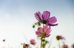 Fleur rose de cosmos dedans avec sky5 bleu Image libre de droits