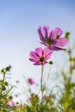 Fleur rose de cosmos dedans avec sky4 bleu Photos stock