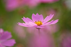 Fleur rose de cosmos, fin vers le haut Photos stock