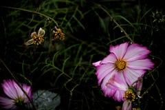 Fleur rose de cosmos de plan rapproché au jardin et à l'arrière-plan noir Photographie stock