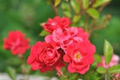 Fleur rose de couleur photographie stock