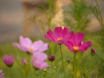 Fleur rose de couples Image libre de droits