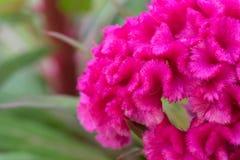 Fleur rose de crête Photographie stock