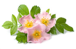 Fleur rose de crabot Photos libres de droits