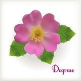 Fleur rose de crabot Image libre de droits