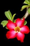 Fleur rose de désert Photographie stock