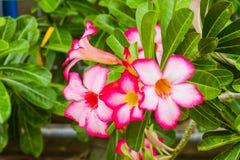 Fleur rose de désert Photo stock