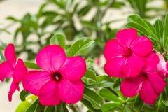 Fleur rose de désert Image libre de droits