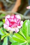 Fleur rose de désert photo libre de droits