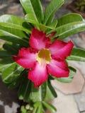 Fleur rose de désert Photos libres de droits