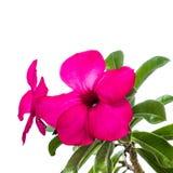Fleur rose de désert d'isolement Images stock