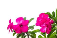 Fleur rose de désert d'isolement Images libres de droits