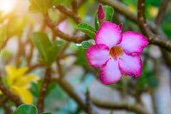 Fleur rose de désert dans le matin Images libres de droits