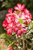 Fleur rose de désert rouge Images libres de droits