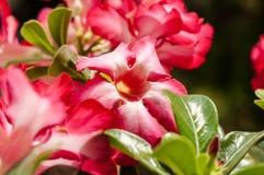 Fleur rose de désert rouge Photos libres de droits