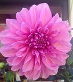 Fleur rose de dahlia Photo libre de droits