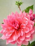 Fleur rose de dahlia avec des baisses de rosée Image stock
