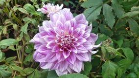 Fleur rose de dahlia dans un jardin image stock