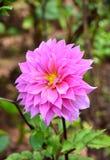 Fleur rose de dahlia sur le fond de tache floue image stock