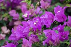 Fleur rose de fleur de bouganvillée en Asie Photographie stock libre de droits