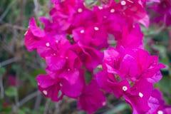 Fleur rose de fleur de bouganvillée en Asie Image libre de droits