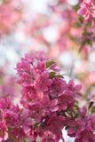 Fleur rose de fleur de fond de ressort Photo libre de droits