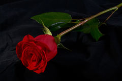 Fleur rose de fleur de rouge Images libres de droits